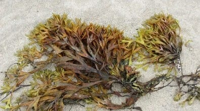 endometriosis seaweed treatment